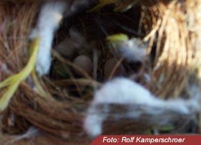 Nest Diamantfinken
