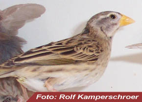 Rotkopfweber